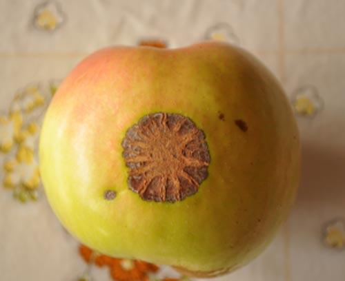 """Νέο """"Θαύμα"""" στα Σκόπια – Ανακάλυψαν Μήλο με τον.. Ήλιο της Βεργίνας!!!"""